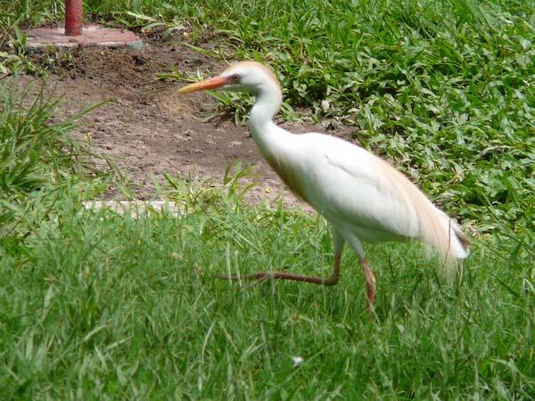 Cattle Egret   Ardea ibis photo