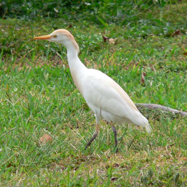 Cattle Egret | Ardea ibis photo