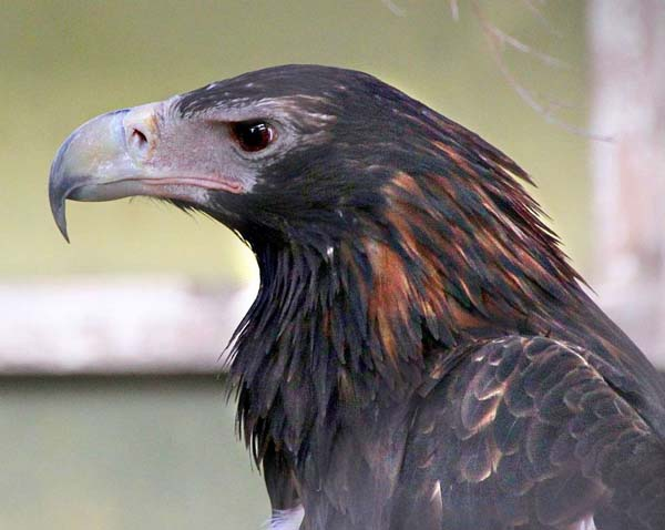 Wedge-tailed Eagle | Aquila audax photo