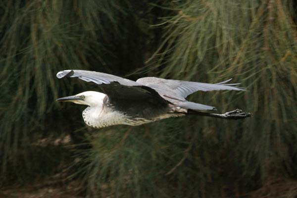 Pacific Heron | Ardea pacifica photo