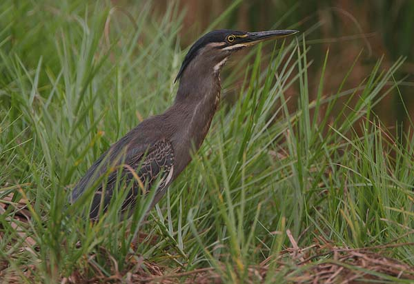 Striated Heron | Butorides striatus photo