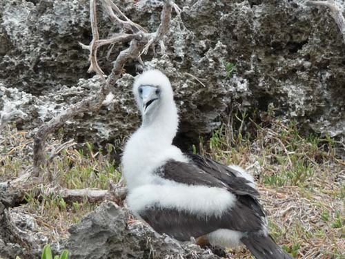 Abbotts Booby | Papasula abbotti photo