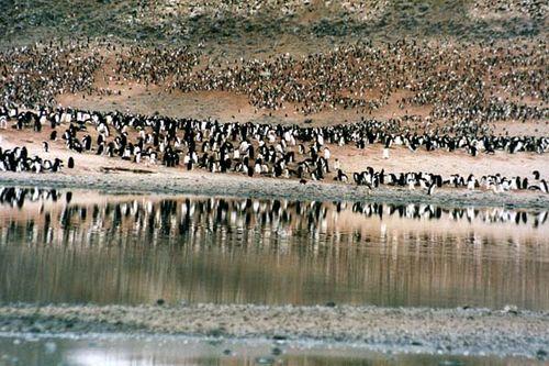 Adelie Penguin   Pygoscelis adeliae photo