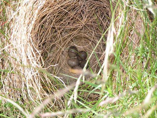 Eurasian Skylark | Alauda arvensis photo