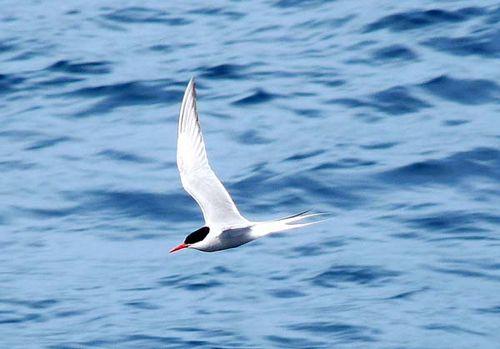 Antarctic Tern | Sterna vittata photo