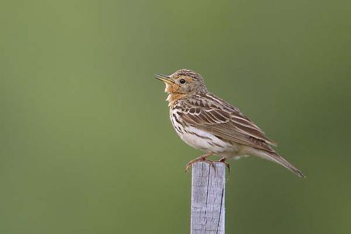 Red-throated Pipit | Anthus cervinus photo