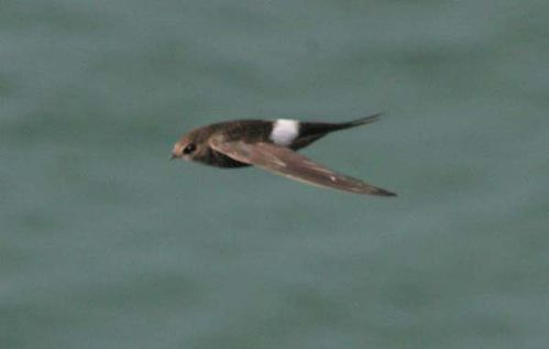 Fork-tailed Swift | Apus pacificus photo