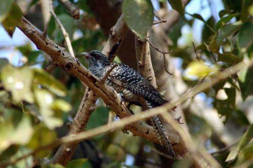 Asian Koel | Eudynamys scolopacea photo