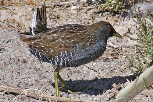 Australian Spotted Crake | Porzana fluminea photo