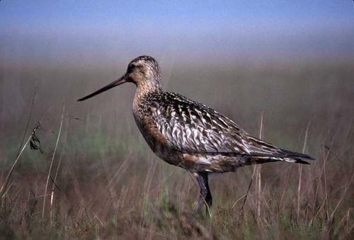 Bar-tailed Godwit   Limosa lapponica photo