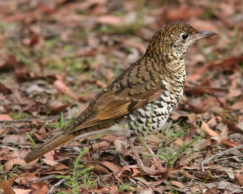 Bassian Thrush | Zoothera lunulata photo