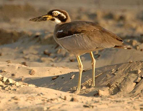 Beach Stone-curlew | Esacus neglectus photo