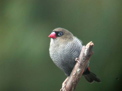 Beautiful Firetail | Stagonopleura bella photo