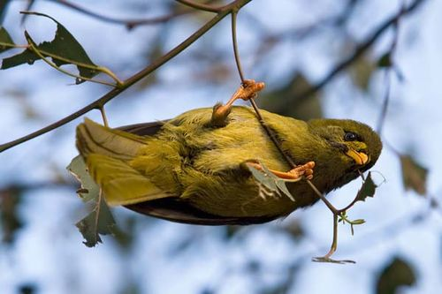 Bell Miner | Manorina melanophrys photo