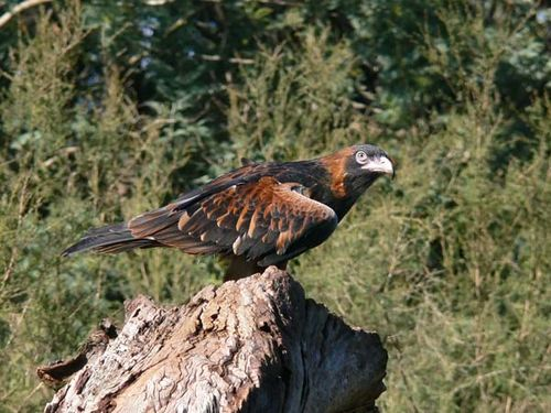 Black-breasted Kite | Hamirostra melanosternon photo