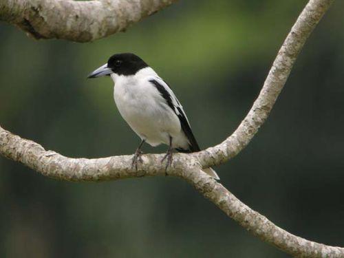 Black-backed Butcherbird | Cracticus mentalis photo