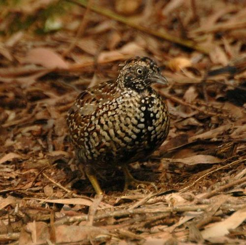 Black-breasted Button-quail | Turnix melanogaster photo