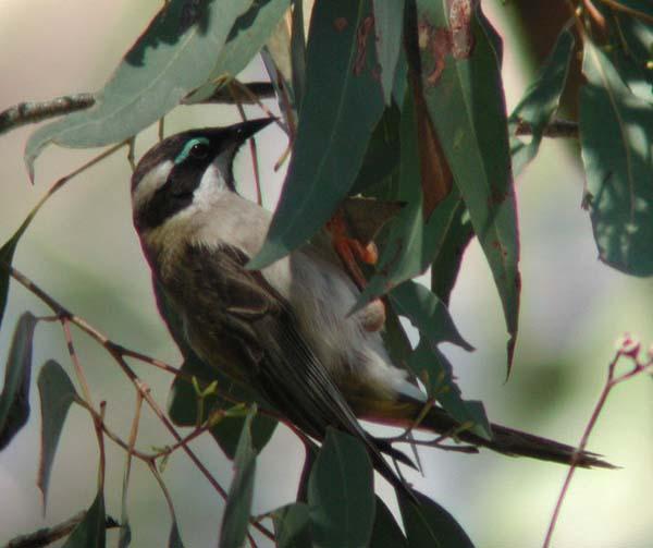 Black-chinned Honeyeater | Melithreptus gularis photo