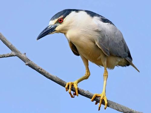 Black-crowned Night Heron | Nycticorax nycticorax photo