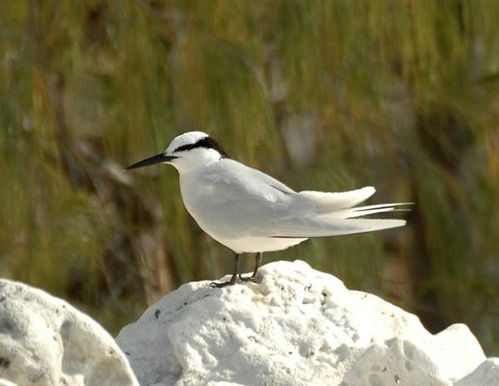 Black-naped Tern | Sterna sumatrana photo