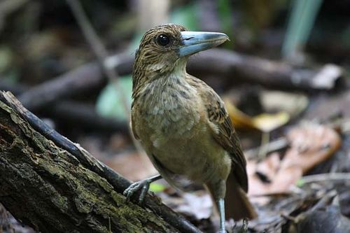 Black Butcherbird | Cracticus quoyi photo