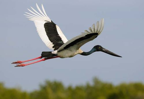 Jabiru | Ephippiorhynchus asiaticus photo