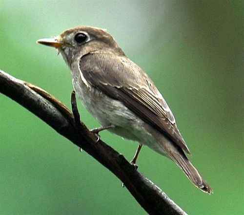 Blue-and-white Flycatcher | Cyanoptila cyanomelana photo
