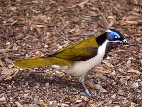 Blue-faced Honeyeater | Entomyzon cyanotis photo