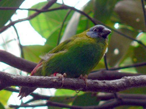 Blue-faced Parrot-Finch | Erythrura trichroa photo