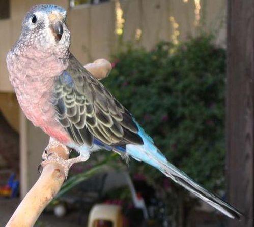 Bourke's Parrot | Neopsephotus bourkii photo