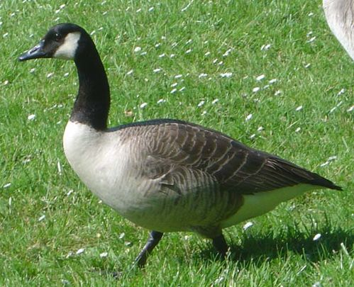 Canada Goose | Branta canadensis photo