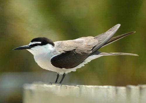 Bridled Tern | Sterna anaethetus photo