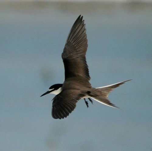 Bridled Tern | Sterna anaethetus photo