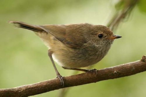 Brown Thornbill | Acanthiza pusilla photo