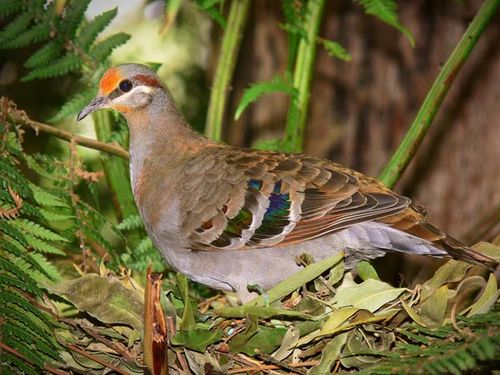 Brush Bronzewing | Phaps elegans photo