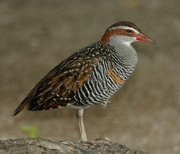 Buff-banded Rail | Gallirallus philippensis photo