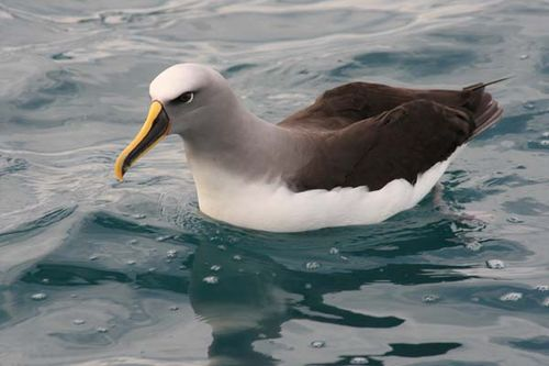 Bullers Albatross | Thalassarche bulleri photo