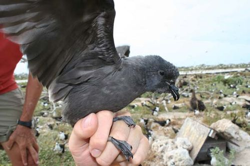 Bulwer's Petrel | Bulweria bulwerii photo