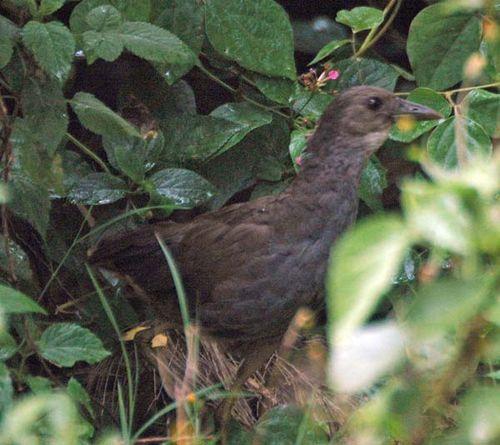 Bush-hen | Amaurornis moluccana photo