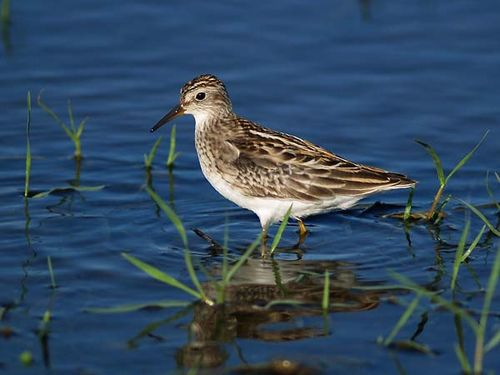 Long-toed Stint | Calidris subminuta photo