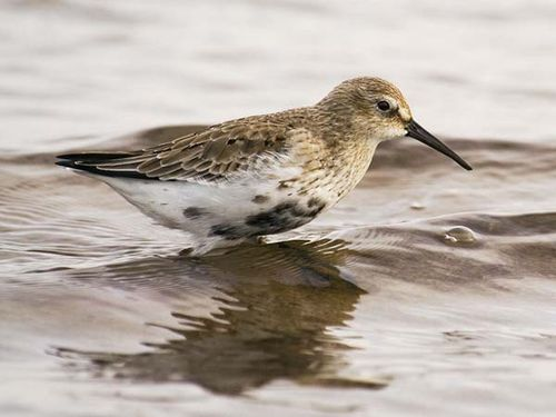 Dunlin | Calidris alpina photo