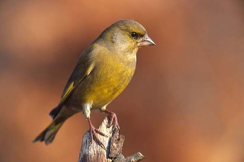 European Greenfinch | Carduelis chloris photo