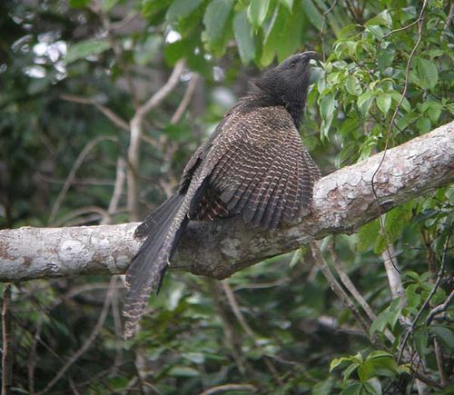Pheasant Coucal | Centropus phasianinus photo