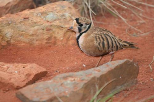 Inland Dotterel | Charadrius australis photo