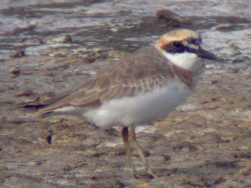 Greater Sand Plover | Charadrius leschenaultii photo