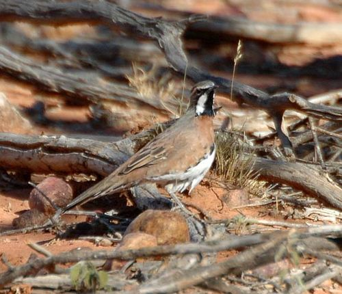 Chestnut-breasted Quail-thrush | Cinclosoma castaneothorax photo