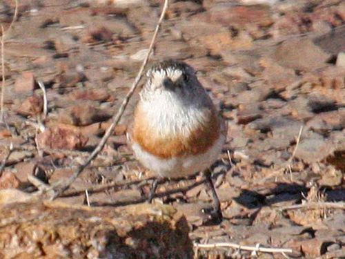 Chestnut-breasted Whiteface | Aphelocephala pectoralis photo