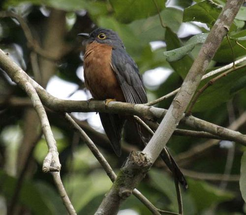 Chestnut-breasted Cuckoo | Cacomantis castaneiventris photo