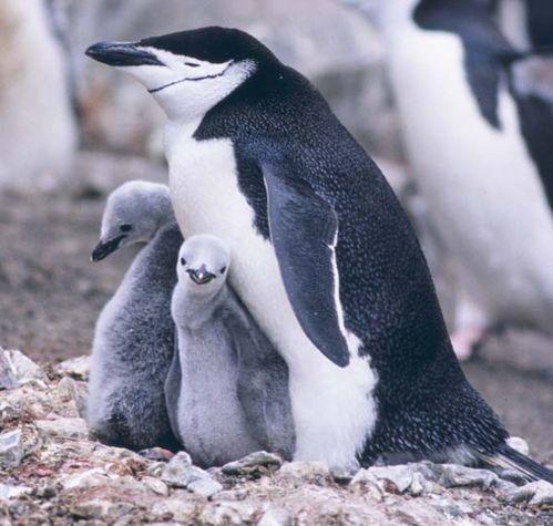Chinstrap Penguin | Pygoscelis antarcticus photo
