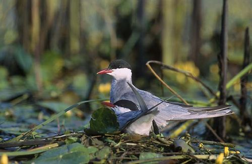 Whiskered Tern | Chlidonias hybridus photo